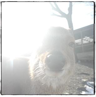 宝登山動物園・シカ